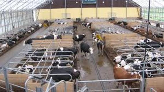 cattle_adaptation_4.jpg