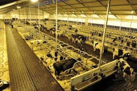 cattle_adaptation_15.jpg