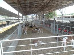 cattle_adaptation_24.jpg